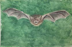 #250 Yanbaru Whiskered Bat