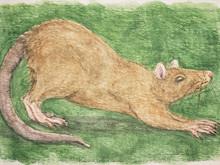 #336 Bulldog Rat