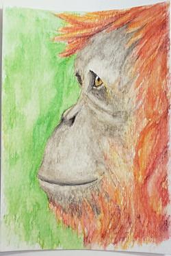 #96 Tapanuli Orangutan