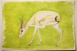 #140 Saudi Gazelle