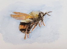 #1 Rusty Patched Bumblebee