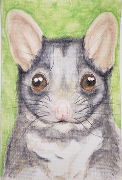 #290 Leadbeater's Possum