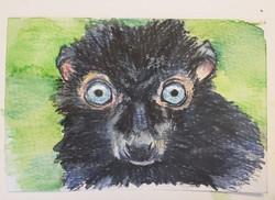 #16 Blue-eyed Black Lemur - Male