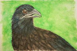 #296 Black Hooded Coucal