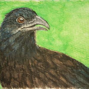 #296 Black-hooded Coucal
