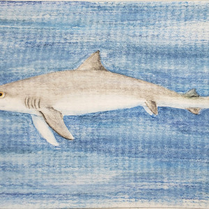 #288 Tope Shark
