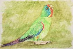 #325 Swift Parrot