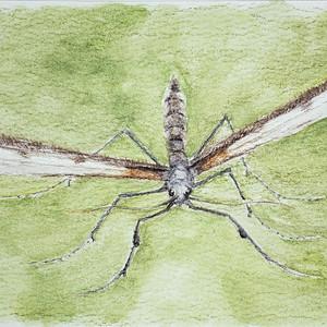 #353 Marion's Plume Moth