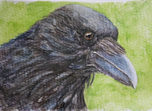 #87 Hawaiian Crow