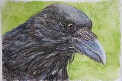 #87 Hawaiian Crow