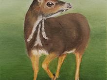#74 Pilandok, Philippine mouse deer, or Balabac Chevrotain