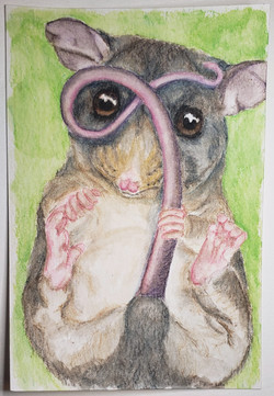 #132 Mountain Pygmy Possum