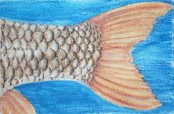 #229 Orange-finned Humpback Mahseer