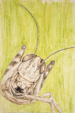 #272 Central Valley Grasshopper Extinct Central Valley Grasshopper