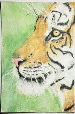 #154 Malay Tiger