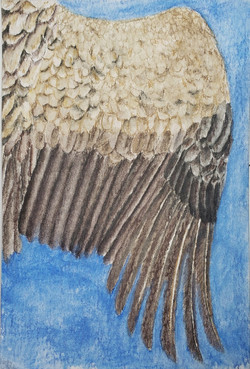 #231 Indian Vulture