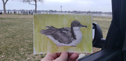 #264 'A'o or Newell's Shearwater Critically Endangered 'A'o Or Newell's Shearwater