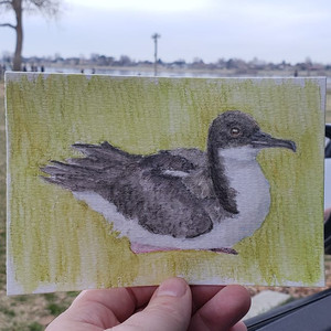 #264 'A'o or Newell's Shearwater
