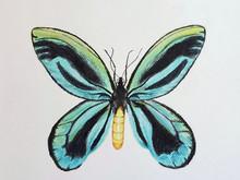 #70 Queen Alexandra's Birdwing