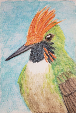 #307 Short-crested Coquette