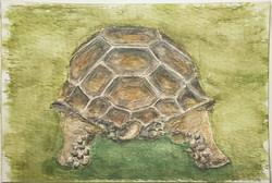 #232 Asian Giant Tortoise