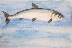 #284 Atlantic Whitefish