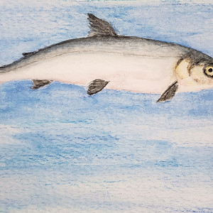 #284 Atlantic Whitefish