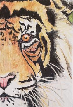 #22 Sunda or Sumatran Tiger