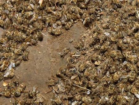 ¡Emergencia en Croacia! 60 millones de abejas muertas misteriosamente