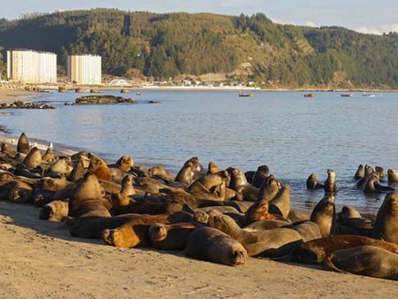 Extraño comportamiento de lobos marinos en Chile (Video)