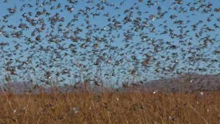¡Alerta en Argentina! Impacto por plaga de 40 millones de langostas que amenazan cultivos