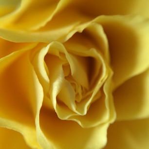 my climbing rose