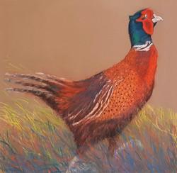 Rex Pheasant