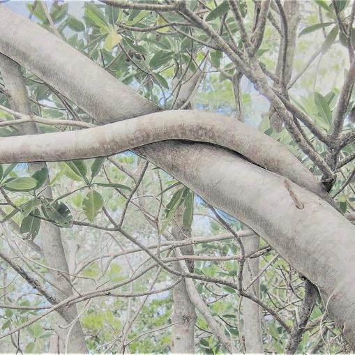 Deborah Perlman - Banyan Branch 100.jpg