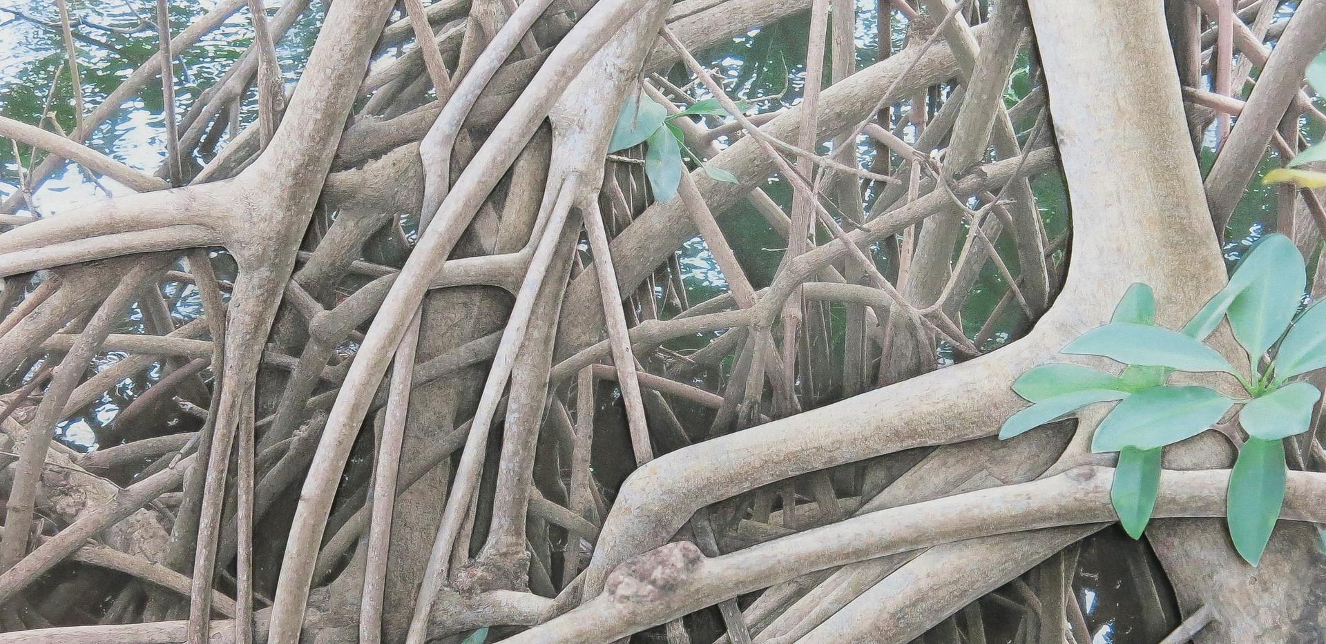 Mangrove 200.jpg