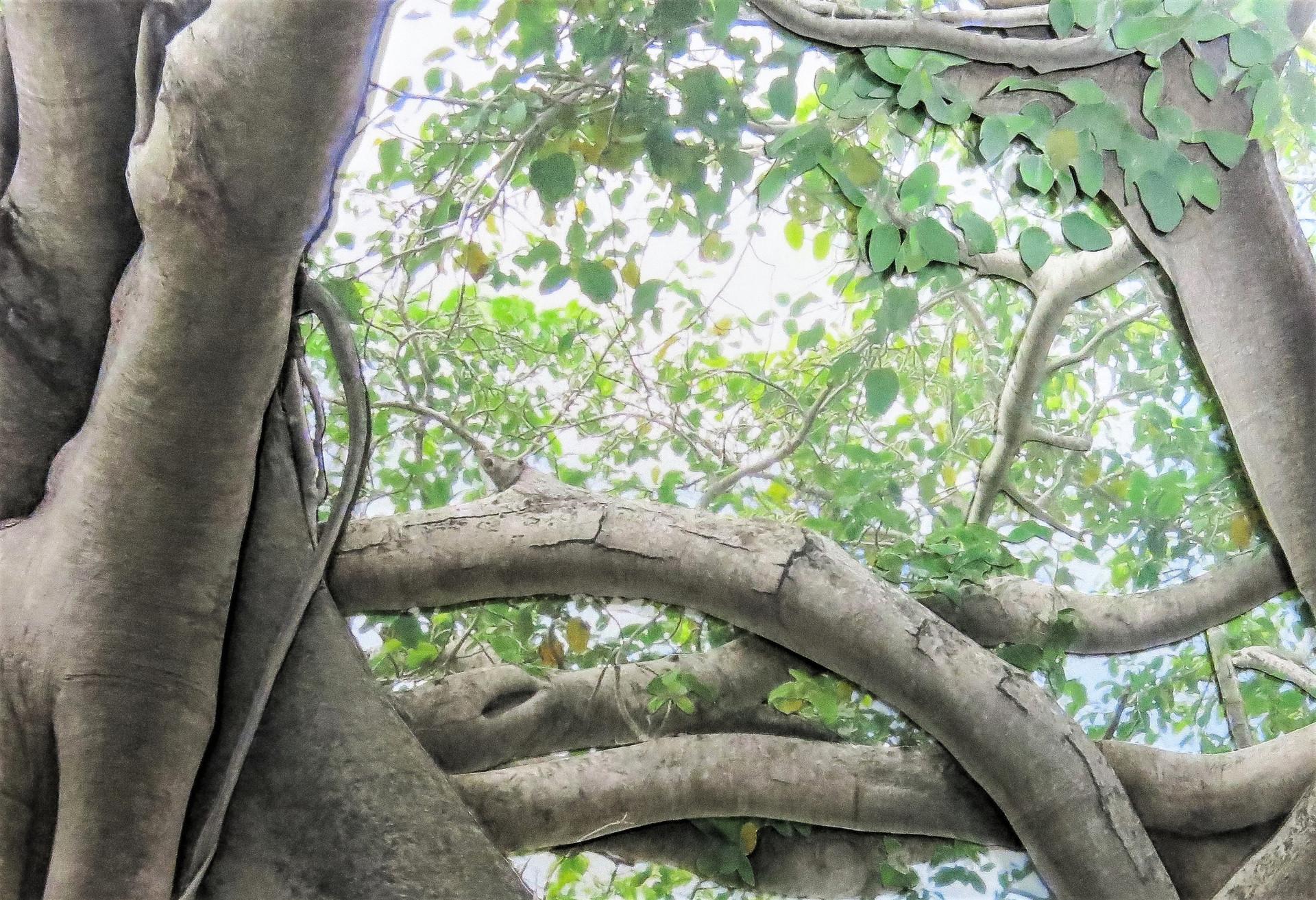 Banyan Canopy 400