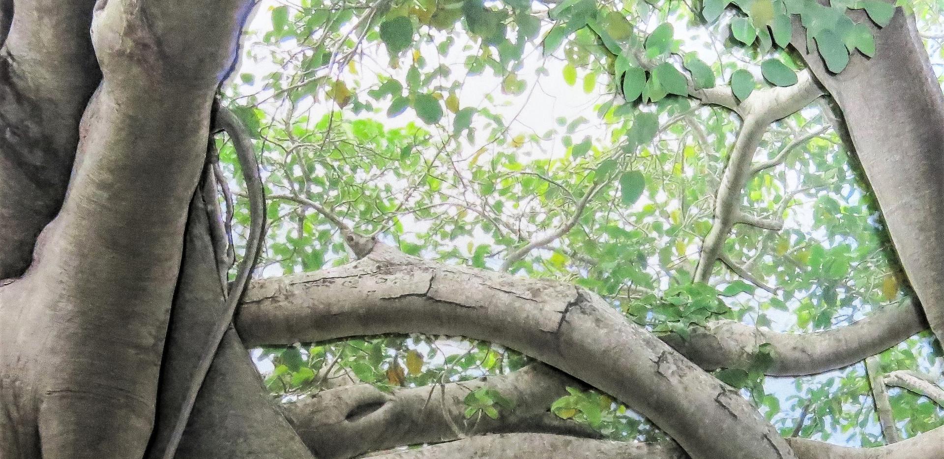Banyan Canopy 400.jpg