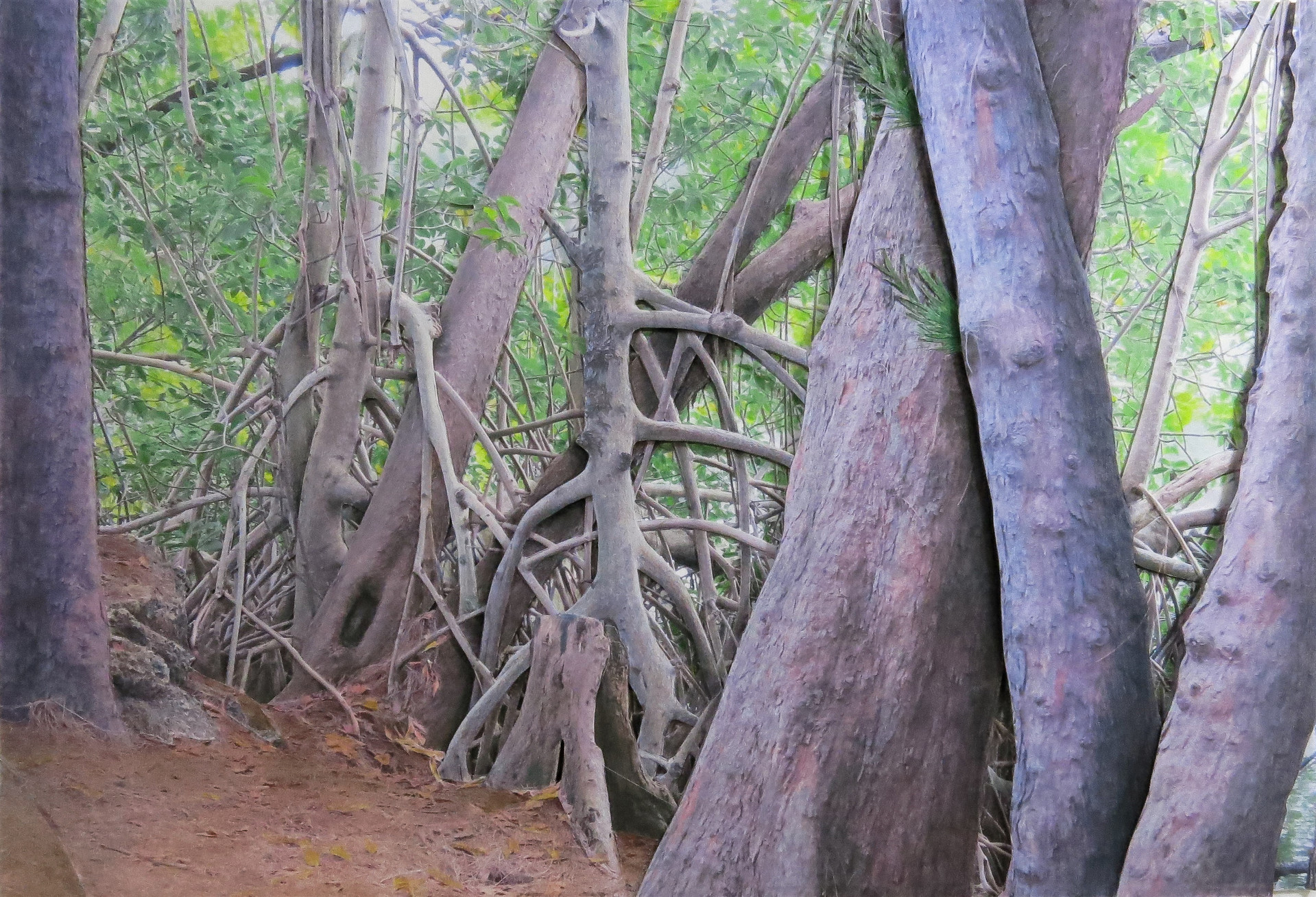 Mangrove and Pines