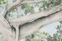 Banyan Branch 200, Photo and Drawing wit