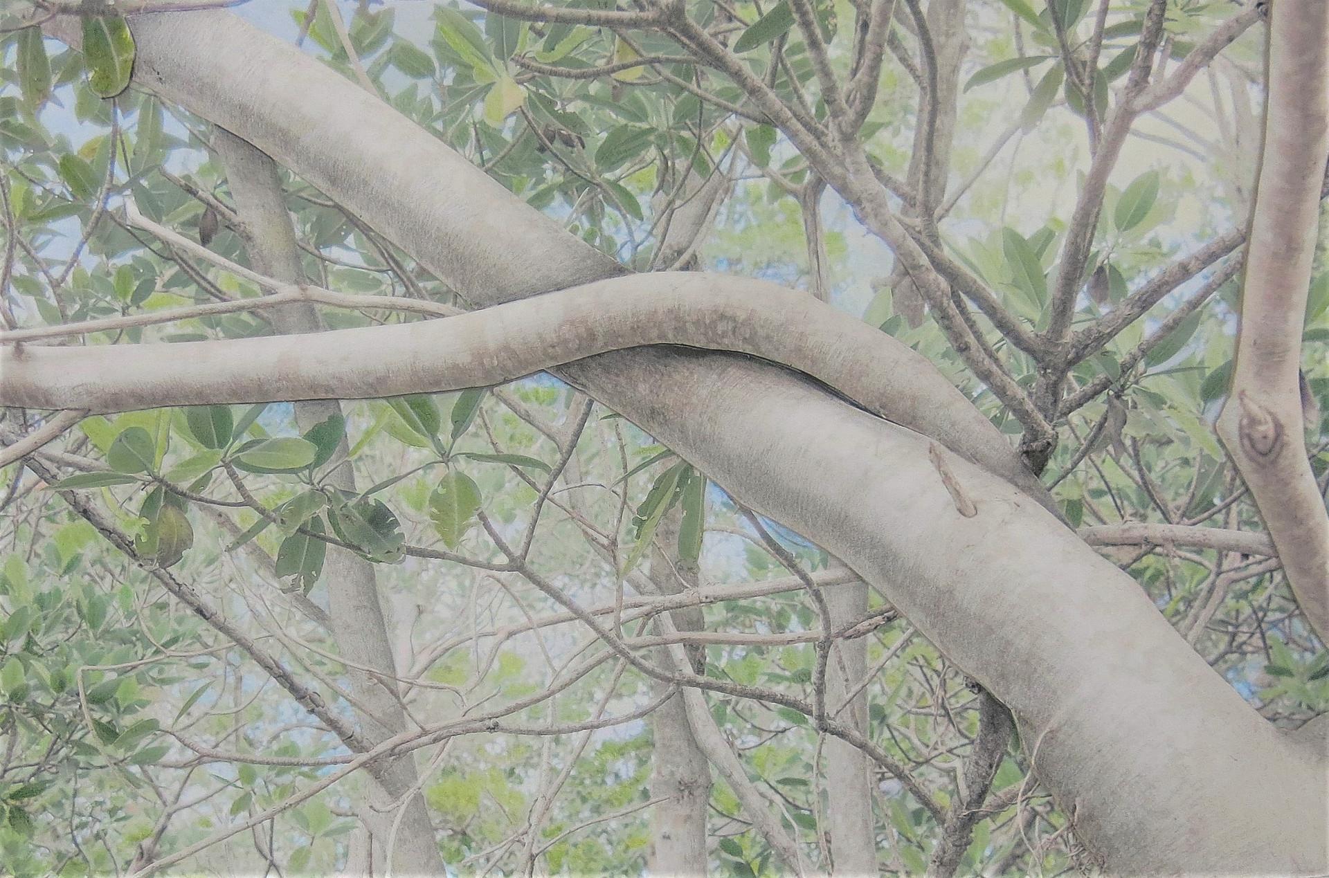 Banyan Branch 100