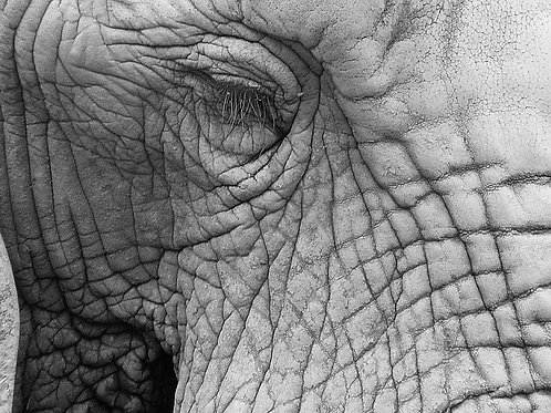 Elephant Eye - Canvas Print