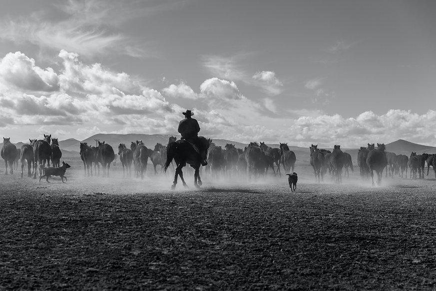 Cowboy wrangling horses