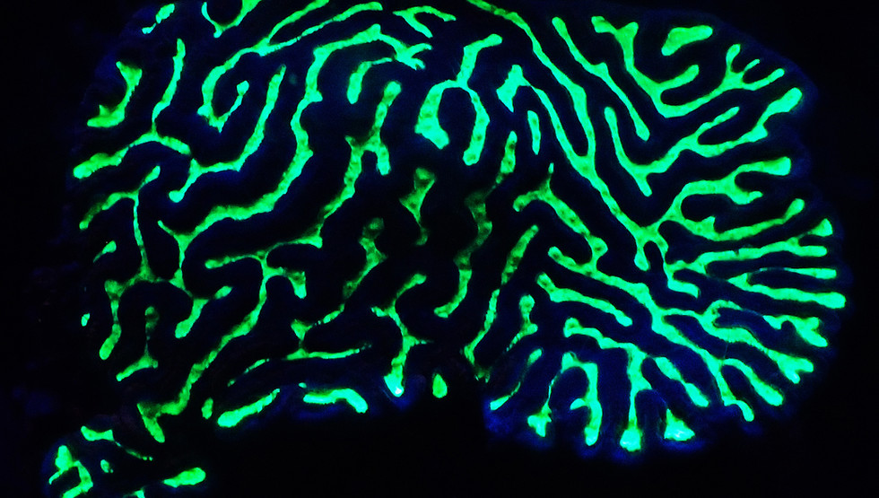 A Studying coral fluorescence in the Red