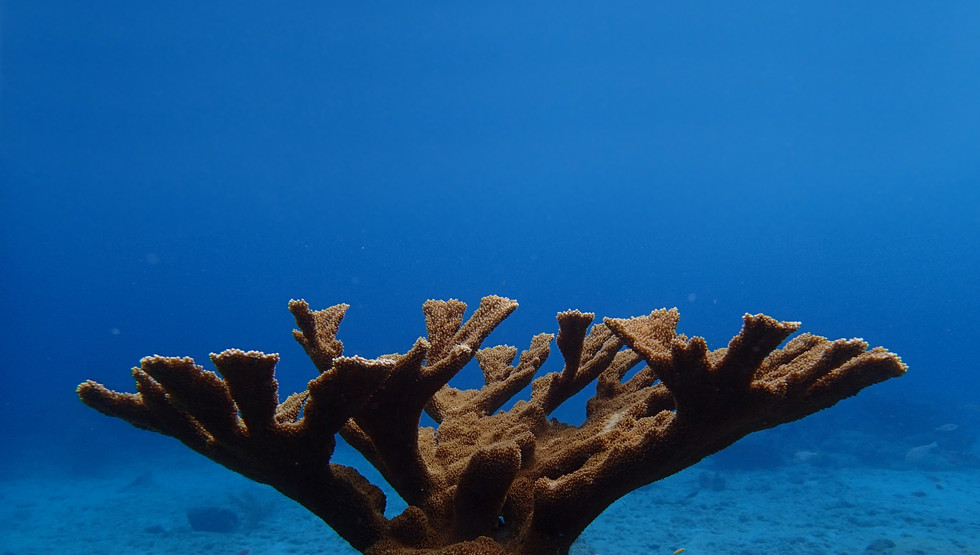 Acropora palmata with background.jpg
