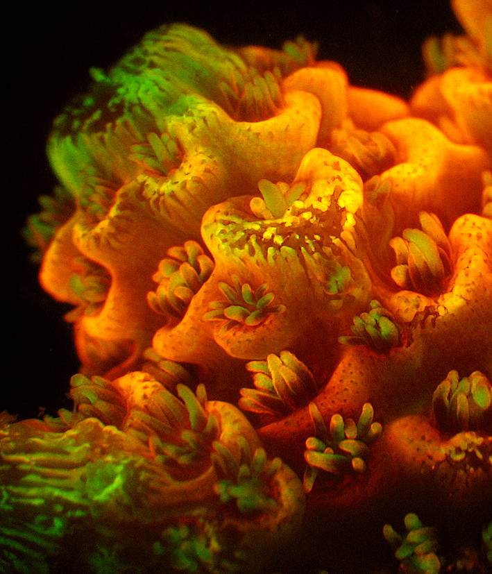 3 Green and red Fluorescence of Acropora