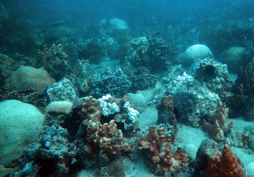 Coral bleaching in the Gulf 2012.jpg