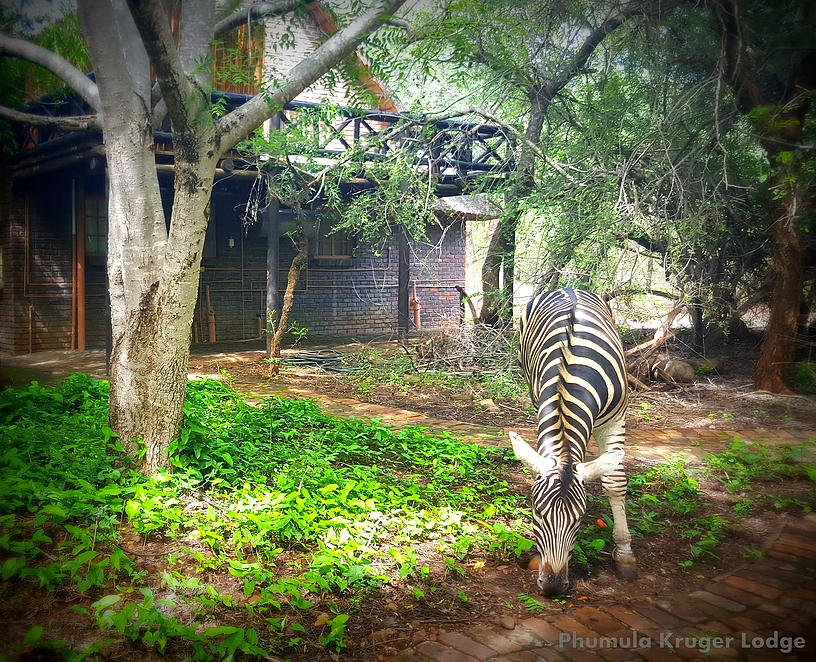 Zebra in front of chalet - Phumula