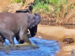 Grumpy Elephant Tries to Stab Baby Hippo