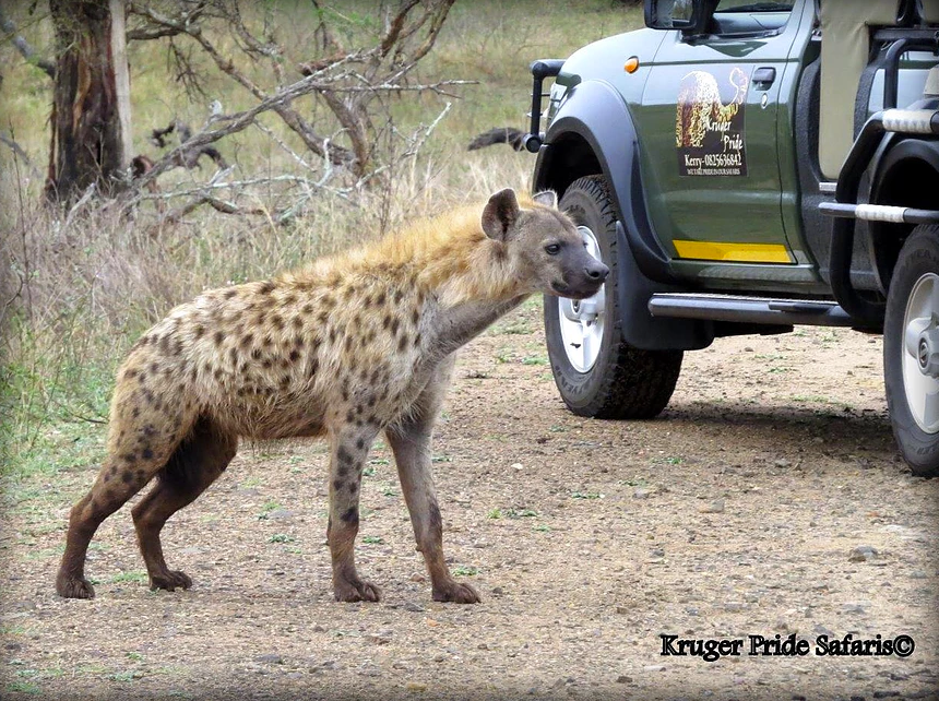 Spotted Hyena on Phumula Game Drive