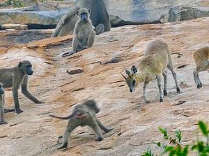 Baboons vs Bucks!